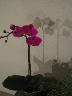 Orchid 004
