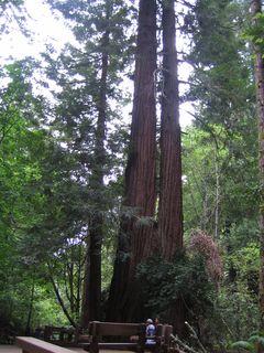 Muir Woods 002