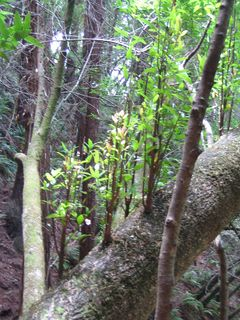 Muir Woods 005