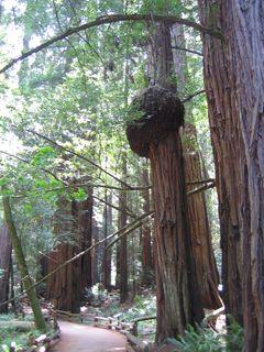 Muir Woods 009